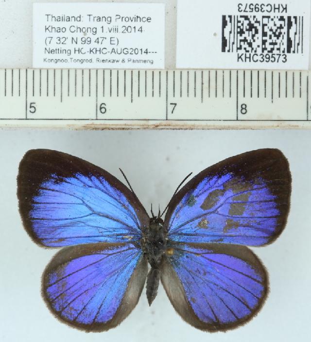 Image of <i>Arhopala inornata</i> (Felder & Felder 1860)