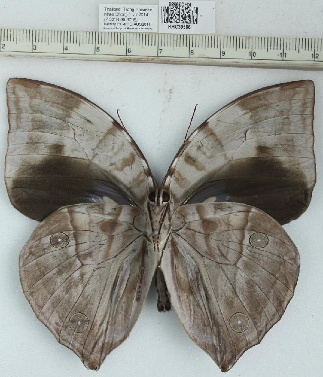 Image of <i>Zeuxidia aurelius</i>