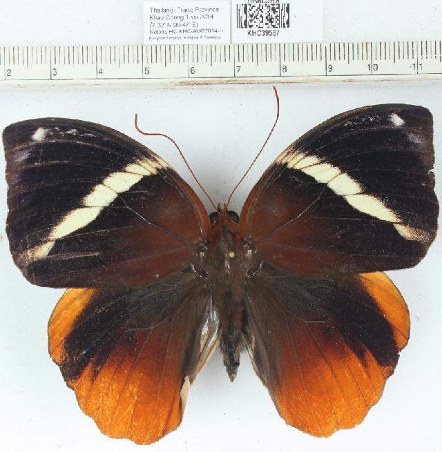 Image of <i>Thauria aliris</i> Westwood 1858