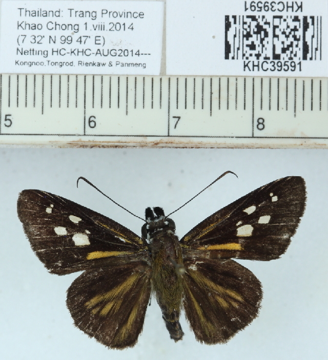 Image of <i>Plastingia naga</i> de Nicéville 1883