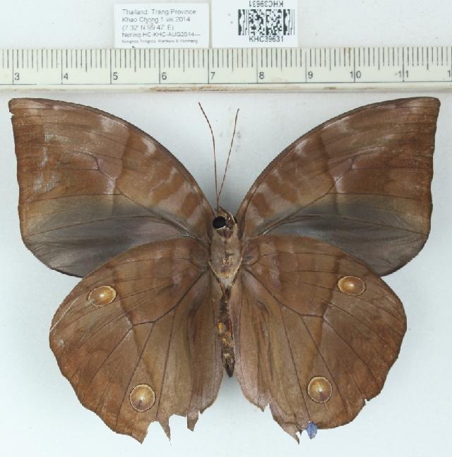 Image of <i>Zeuxidia amethysta</i>