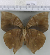 Image of <i>Zeuxidia <i>amethysta</i></i> amethysta