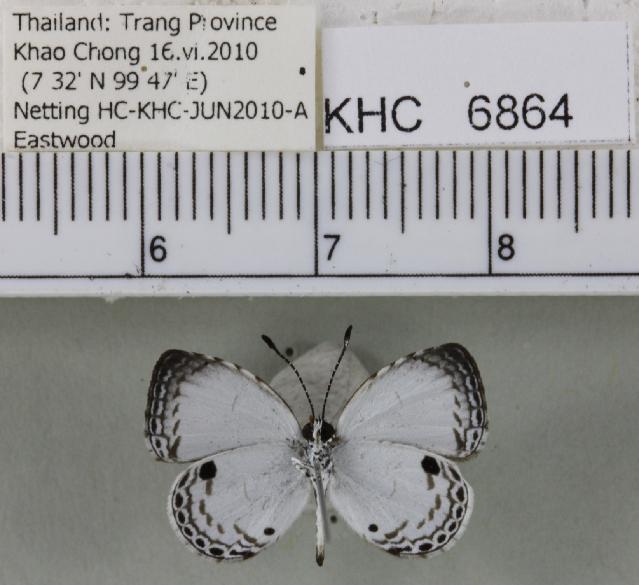 Image of <i>Neopithecops zalmora</i> (Butler (1870))
