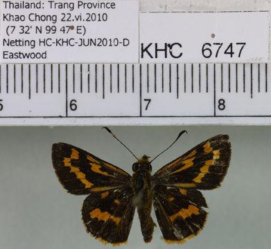 Image of <i>Potanthus mingo</i> Edwards 1866