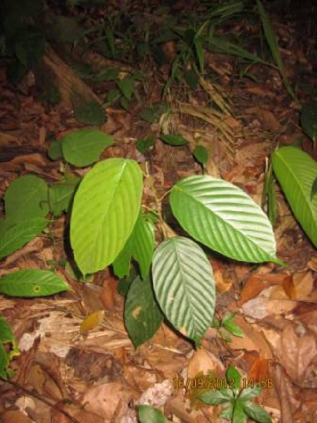 Image of Parashorea