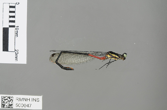 Image of <i>Calicnemia rectangulata</i> Laidlaw 1932