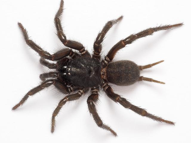 Image of Australian funnelweb spiders