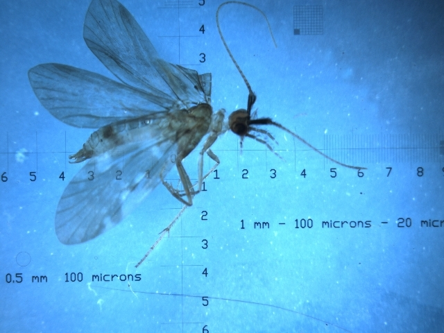 Image of <i>Pliocaloca queenslandensis</i>