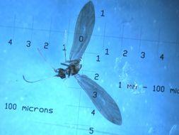 Image of <i>Helicopha neocaledonia</i>