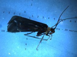 Image of <i>Mecynostomella spinosa</i> Johanson