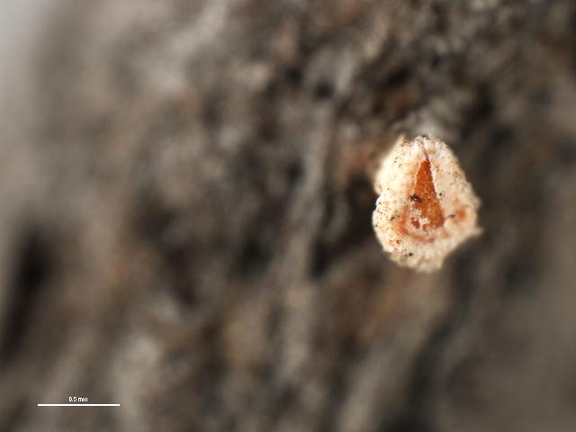 Image of Lachnum