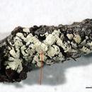 Image of bran lichen
