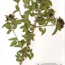 Image of <i>Clerodendrum glabrum</i>