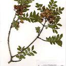 Image of <i>Ptaeroxylon obliquum</i> (Thunb.) Radlk.