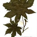 Image of ricinus