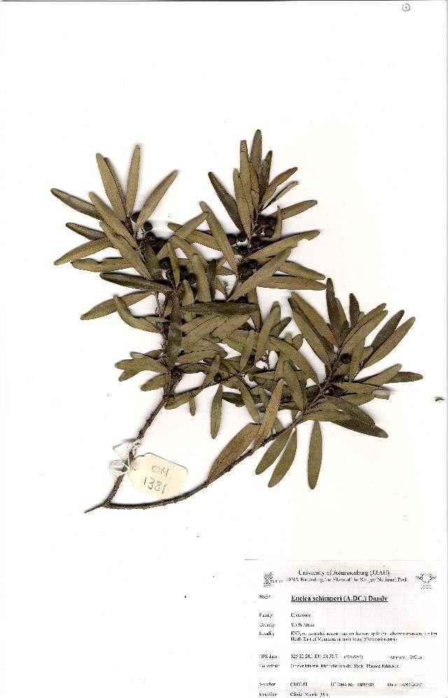 Image of <i>Euclea schimperi</i> var. <i>daphnoides</i>