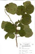 Image of <i>Trimeria grandifolia</i> (Hochst.) Warb.