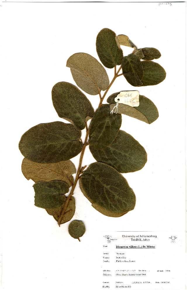 Image of <i>Diospyros galpinii</i> (Hiern) De Winter