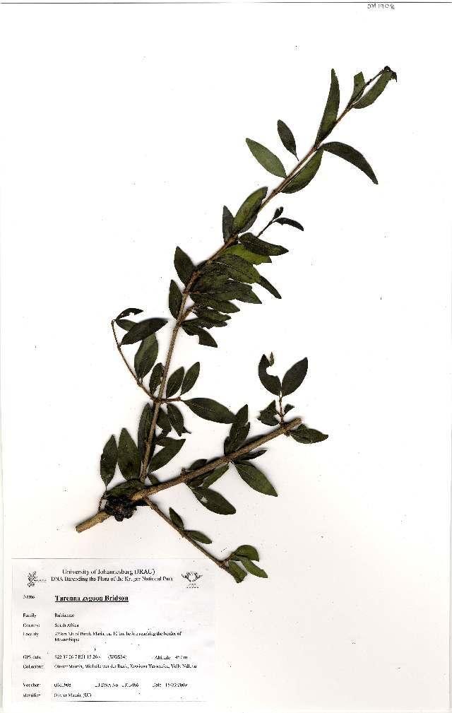 Image of <i>Tarenna zygoon</i>