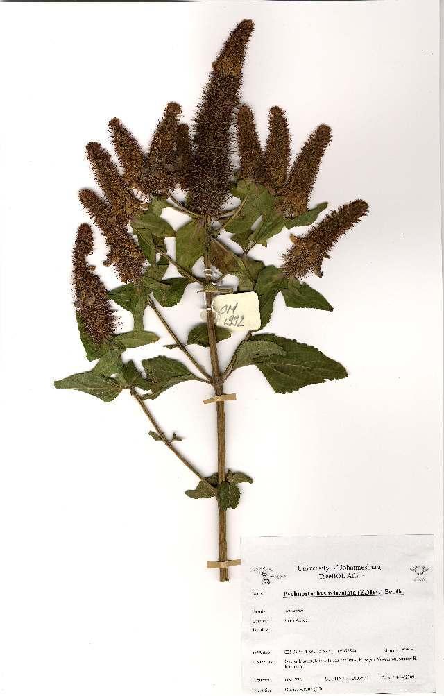 Image of <i>Pychnostachys reticulata</i>
