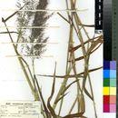 Image of stinkgrass