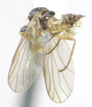 Image of <i>Iteaphila testacea</i> Melander 1946