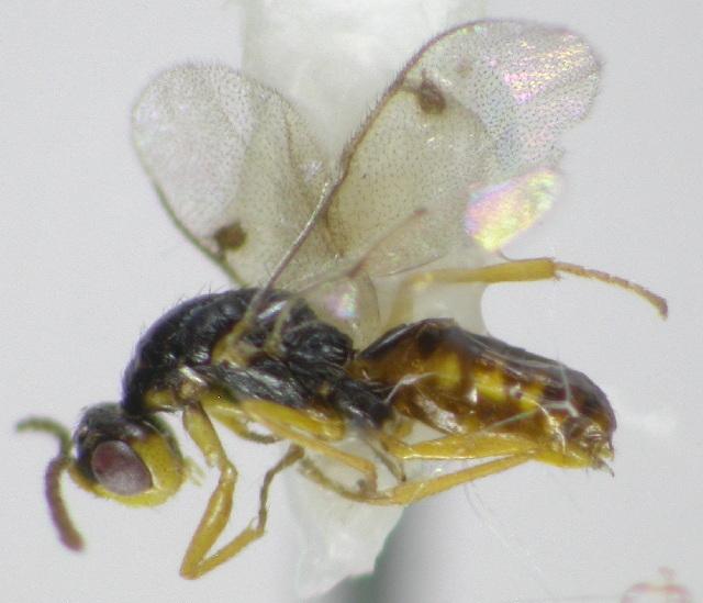 Image of <i>Megastigmus atedius</i> Walker 1851