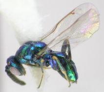 Image of Pseudotorymus