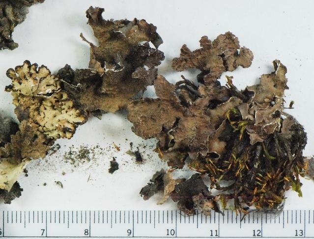 Image of kidney lichen