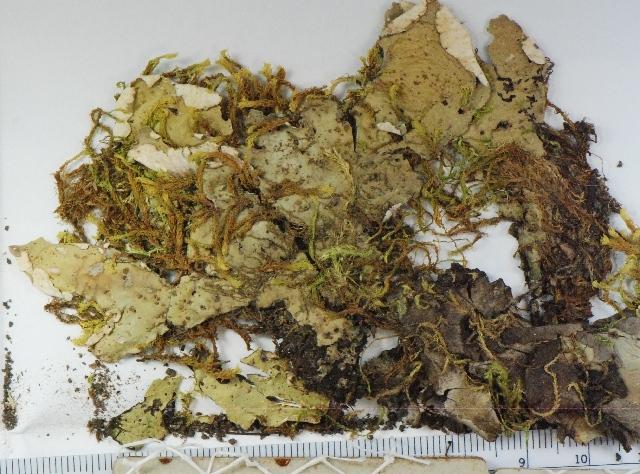 Image of British felt lichen