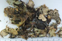 Image of Degen's felt lichen