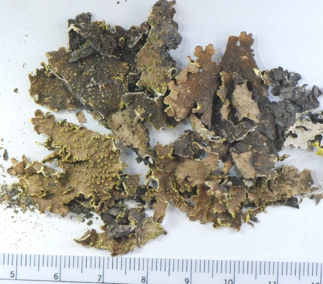 Image of Yellow specklebelly lichen