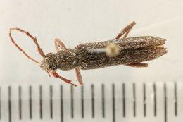Image of Oak Twig Pruner