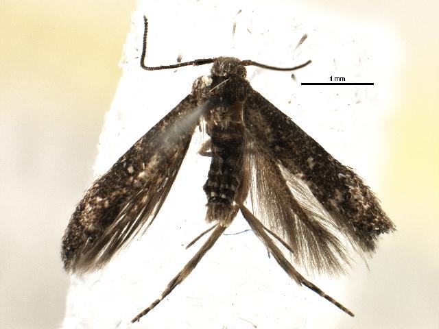 Image of <i>Chrysopeleia purpuriella</i> Chambers 1874
