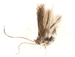 Image of <i>Phyllonorycter aeriferella</i> (Clemens 1859)