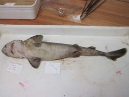 Image of dogfish sharks