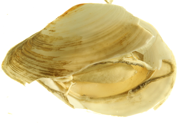 Image of <i>Macoma calcarea</i> (Gmelin 1791)