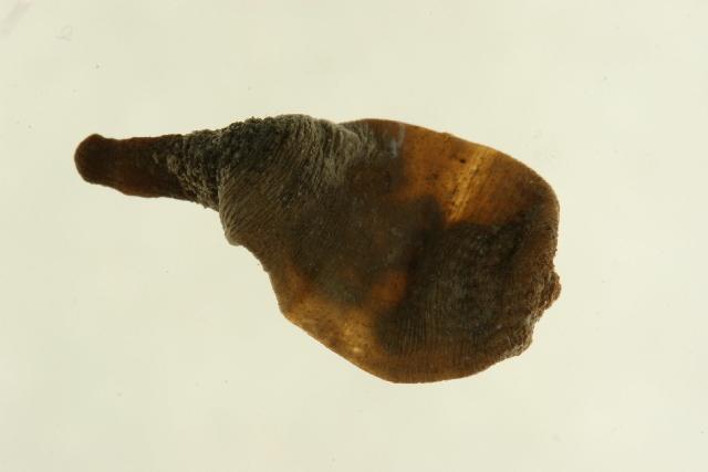 Image of Priapulus