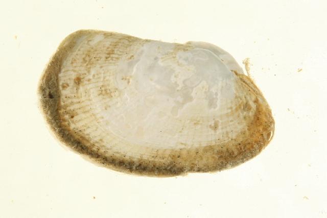 Image of Lyonsia