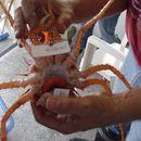 539.lacsa dna trawl invert briarosaccus callosus t5 305 eggs of crab parasite plate 2 cell b5 1281019308 jpg.130x130