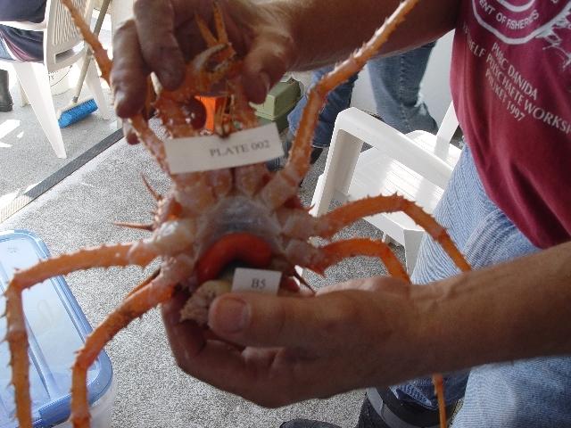 539.lacsa dna trawl invert briarosaccus callosus t5 305 eggs of crab parasite plate 2 cell b5 1281019308 jpg