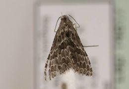 Image of <i>Alucita grammodactyla</i> Zeller 1841