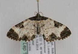 Image of <i>Melanthia alaudaria</i> (Freyer 1846) Freyer 1846