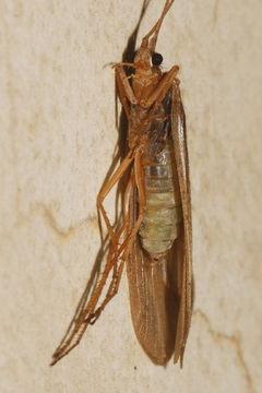 Image of Hesperophylax
