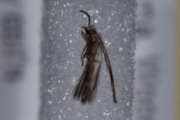 Image of <i>Hydroptila</i>