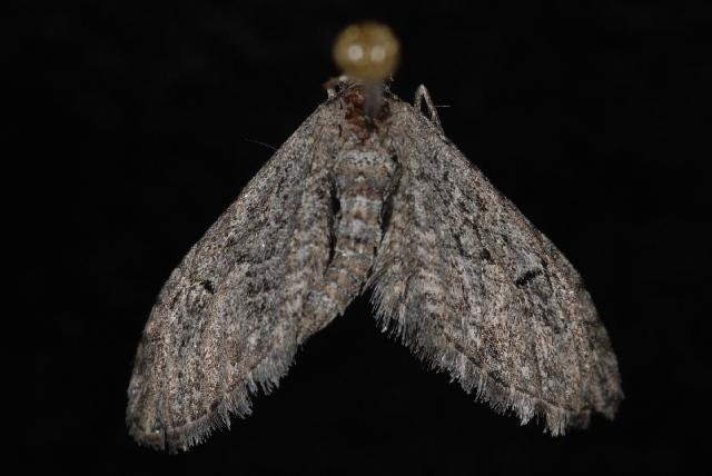 Image of <i>Eupithecia</i>