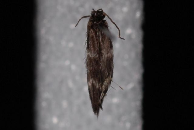 Image of <i>Stactobiella</i>