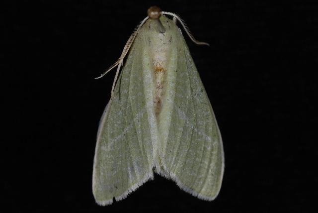 Image of <i>Chlorosea nevadaria</i> Packard 1873