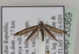 Image of Ochromolopinae