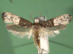 Image of Trichophaga